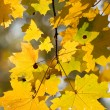 Maple leaves — Stock Photo #8169936