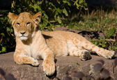 Beautiful young lion — Stockfoto