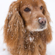 Cocker Spaniel — Stock Photo #8170189