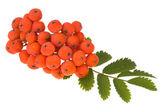 Rowan berry on isolated — Stock Photo