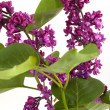 Lilac on isolated — Stock Photo