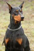 Svart doberman — Stockfoto