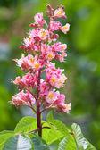 Blossom chestnut tree — Stockfoto