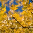 Yellow maple leaves — Stock Photo #8239335