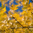 Stock Photo: Yellow maple leaves