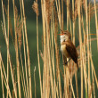 Stock Photo: Great Reed Warbler