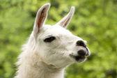 White llama — Stock Photo