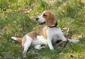 Pes beagle — Stock fotografie