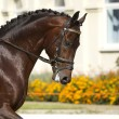 Dressage horse — Stock Photo #8320400