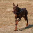 Brown Doberman pinscher — Stok fotoğraf