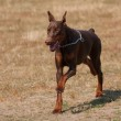 Brown Doberman pinscher — Stock fotografie