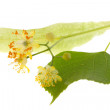 Stock Photo: Flowers of linden tree