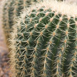 Cactus details — Stock Photo