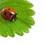 Ladybug and green leaf — Stock Photo #8327663