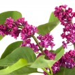Branch of Lilac — Stock Photo #8327707