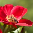 Rose and bee — Stock Photo