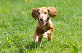 Cockerspaniel — Stockfoto