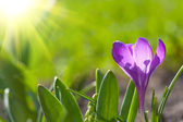 Beautiful crocus — Stock Photo