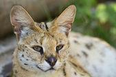 Beautiful Serval — Stock Photo