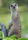Suricata portrait — Stock Photo