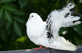 White dove — Stock Photo