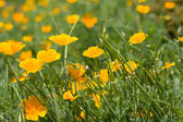 красивые желтые цветы — Стоковое фото