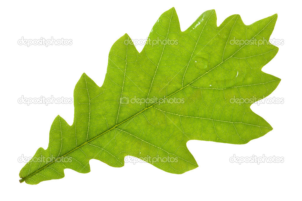 Oak leaf isolated on white — Stock Photo #8334563
