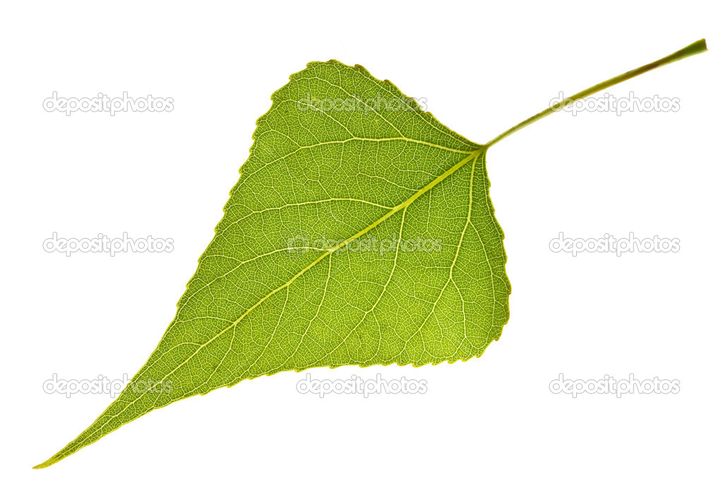 Poplar leaf isolated on white — Stock Photo #8373314