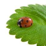 Ladybug on the green leaf — Stock Photo #8412800