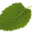 Mulberry leaf — Stock Photo