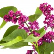 Branch of lilac — Stock Photo #8413055
