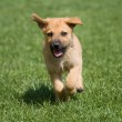 Running puppy — Stock Photo