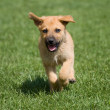 Stock Photo: Running puppy