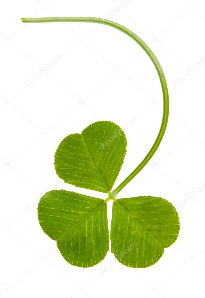 Clover isolated on a white background  Stock Photo #8412872