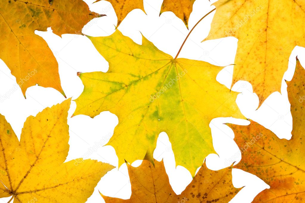 Maple leaves isolated on a white  Stock Photo #8413012