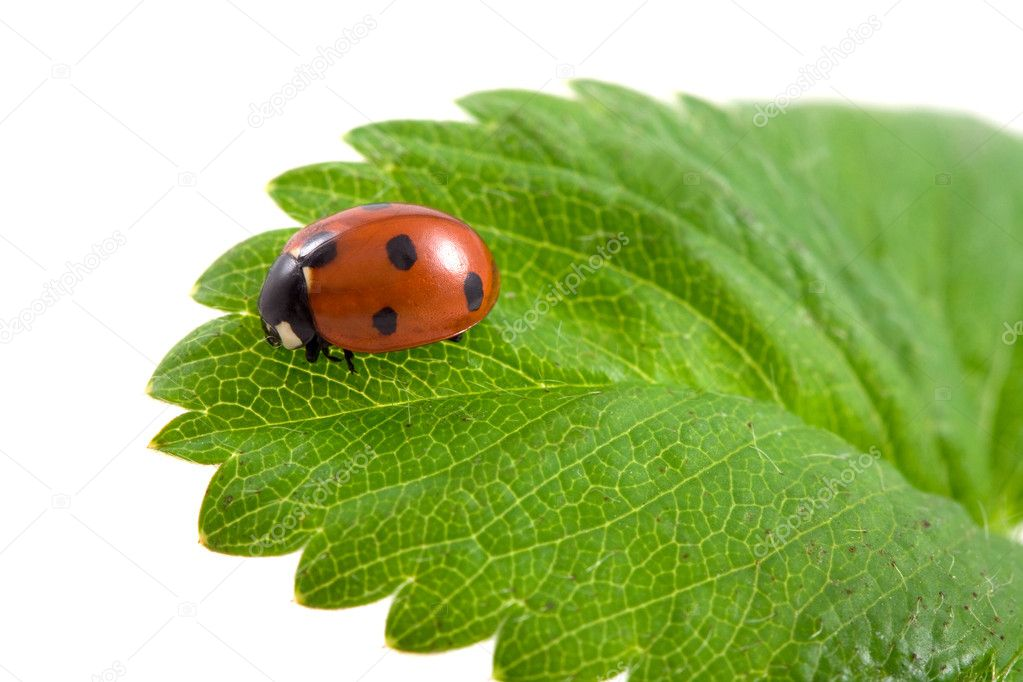 Ladybug on the green leaf on isolated — Stock Photo #8413017