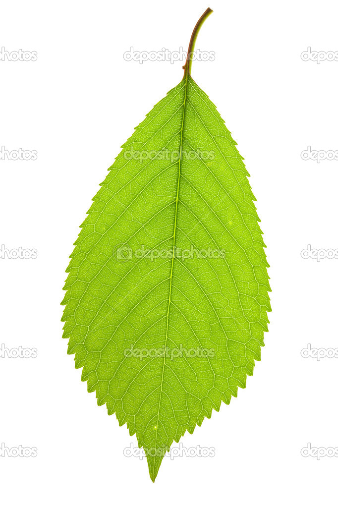 Leaf cherry isolated on a white — Stock Photo #8413040