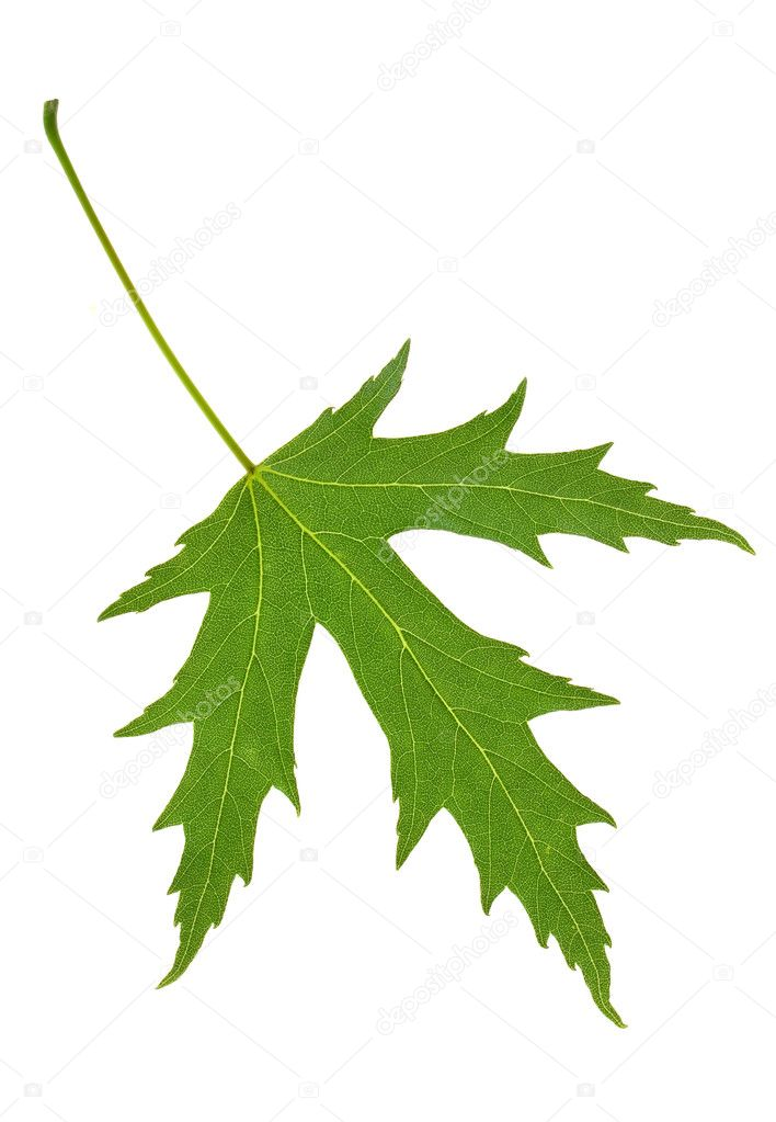 Green maple leaf isolated on white — Stock Photo #8413064