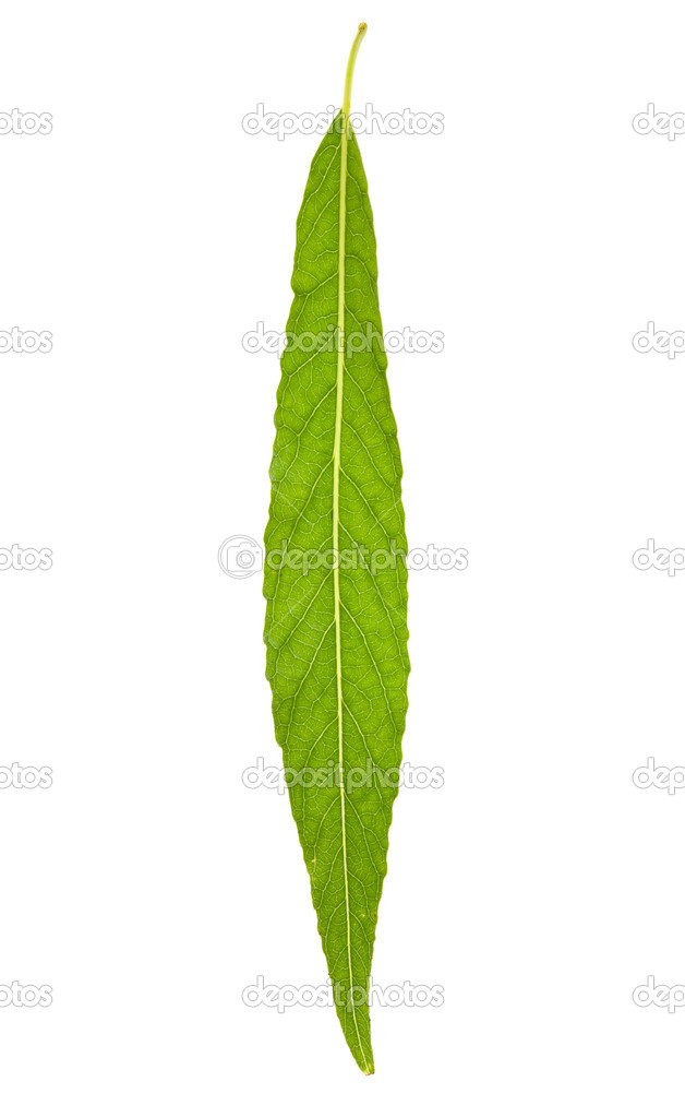 Willow leaf isolated on the white — Stock Photo #8413275