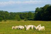 Kühe in burgund, frankreich — Stockfoto