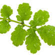 Leaf of celandine - Stock Photo