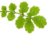 Leaf of celandine — Стоковое фото