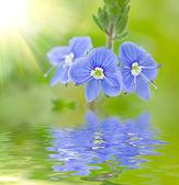 Blue buttercup — Stock Photo