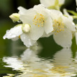 Stock Photo: Jasmine with dew drops