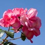 Beautiful flowers — Stock Photo #8543480