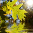 Maple leaves — Stock Photo #8543593