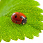 Ladybug on isolated — Stock Photo #8734390