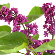 Lilac flowers — Stock Photo #8734399
