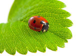 Ladybug on isolated — Stock Photo
