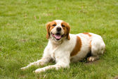 Beagle dog — ストック写真